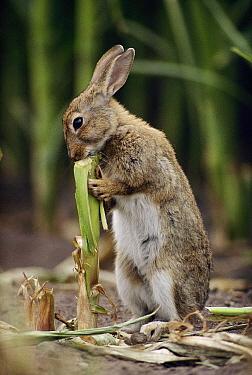 European Rabbit (Oryctolagus cuniculus) feeding on corn stalk, Germany  -  Heidi & Hans-Juergen Koch