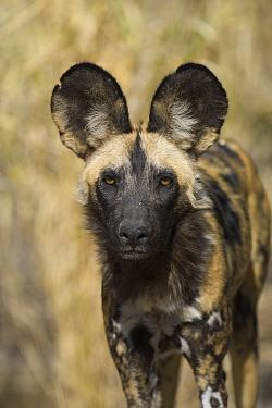 African Wild Dog (Lycaon pictus), Okavango Delta, Botswana  -  Suzi Eszterhas