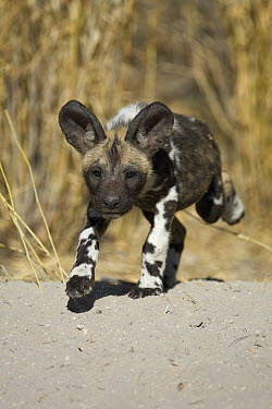 African Wild Dog (Lycaon pictus) six to eight week old pup running, Okavango Delta, Botswana  -  Suzi Eszterhas