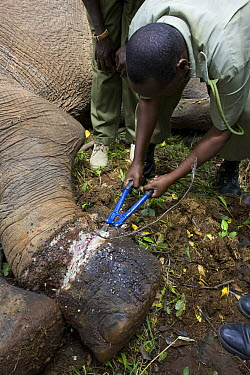 African Elephant (Loxodonta africana) with rangers and veterinarians attempting to remove poacher's snare from elephant's foot, Masai Mara, Kenya  -  Suzi Eszterhas