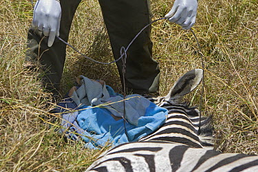 Burchell's Zebra (Equus burchellii) with rangers and veterinarians removing poacher's snare around its neck, Masai Mara, Kenya  -  Suzi Eszterhas