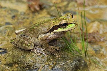 Tarraco Treefrog (Smilisca phaeota), Colombia  -  Thomas Marent