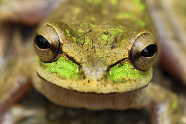 Tarraco Treefrog (Smilisca phaeota) portrait, Colombia. Sequence 1 of 2  -  Thomas Marent