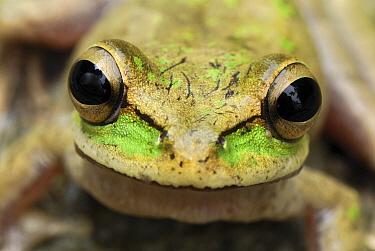Tarraco Treefrog (Smilisca phaeota) portrait, Colombia. Sequence 2 of 2  -  Thomas Marent