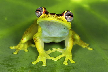 Tree Frog (Hyla rubracyla) at night, Colombia  -  Thomas Marent