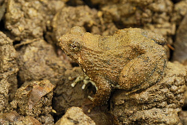 Seep Frog (Occidozyga baluensis) camouflaged against soil, Danum Valley Conservation Area, Malaysia  -  Thomas Marent