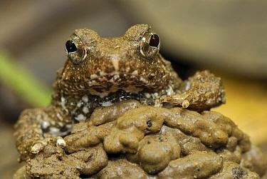 Seep Frog (Occidozyga baluensis), Danum Valley Conservation Area, Malaysia  -  Thomas Marent