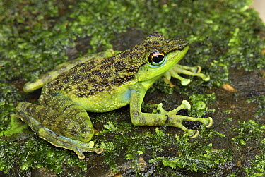 Mindanao Splash Frog (Staurois natator), Danum Valley Conservation Area, Malaysia  -  Thomas Marent