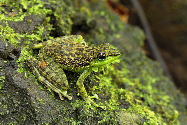 Mindanao Splash Frog (Staurois natator) camouflaged against mossy rocks, Danum Valley Conservation Area, Malaysia  -  Thomas Marent