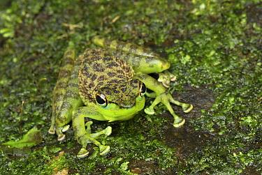 Mindanao Splash Frog (Staurois natator) on mossy rocks, Danum Valley Conservation Area, Malaysia  -  Thomas Marent