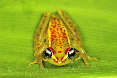 Central Bright-eyed Frog (Boophis rappiodes), Andasibe-Mantadia National Park, Madagascar  -  Thomas Marent