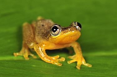 Spotted Madagascar Reed Frog (Heterixalus punctatus), Andasibe-Mantadia National Park, Madagascar  -  Thomas Marent