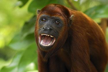 Red Howler Monkey (Alouatta seniculus) calling, Peru  -  Thomas Marent