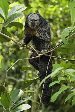 Monk Saki (Pithecia monachus), Pacaya Samiria National Park, Peru  -  Thomas Marent