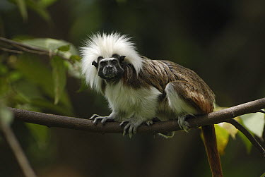 Cotton-top Tamarin (Saguinus oedipus) in tree, northern Colombia  -  Thomas Marent