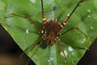 Harvestman (Cosmetidae) arachnid, Allpahuayo Mishana National Reserve, Peru  -  Thomas Marent