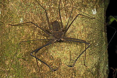 Whip Spider showing spiky pedipalps, Allpahuayo Mishana National Reserve, Peru  -  Thomas Marent