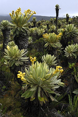 Frailejones (Espeletia sp) flowering, Purace National Park, Colombia  -  Thomas Marent