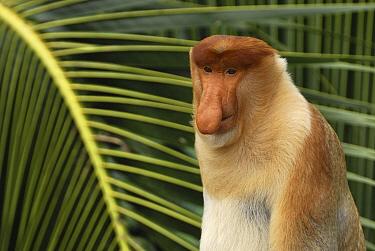 Proboscis Monkey (Nasalis larvatus) male in palm, Sabah, Borneo, Malaysia  -  Thomas Marent