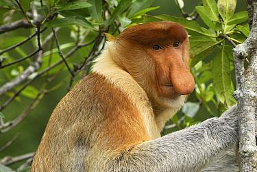 Proboscis Monkey (Nasalis larvatus) male, Sabah, Borneo, Malaysia  -  Thomas Marent