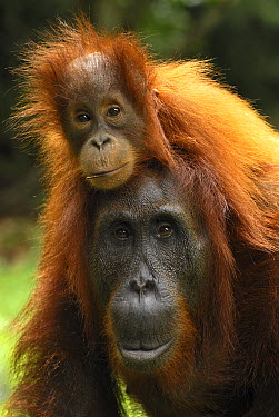 Orangutan (Pongo pygmaeus) female with baby on back, Camp Leaky, Tanjung Puting National Park, Indonesia  -  Thomas Marent