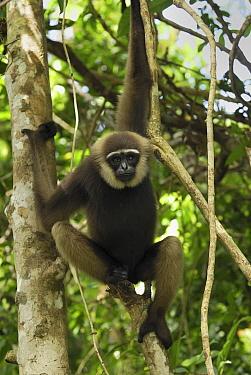 Agile Gibbon (Hylobates agilis) hanging in tree, Camp Leaky, Tanjung Puting National Park, Indonesia  -  Thomas Marent