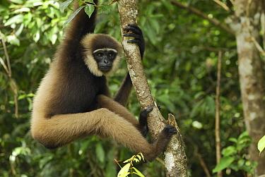 Agile Gibbon (Hylobates agilis) in rainforest tree, Camp Leaky, Tanjung Puting National Park, Indonesia  -  Thomas Marent