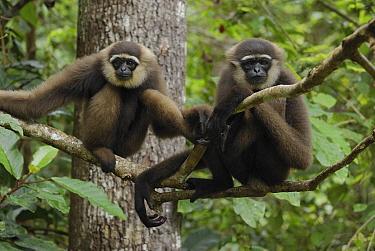 Agile Gibbon (Hylobates agilis) pair, Camp Leaky, Tanjung Puting National Park, Indonesia  -  Thomas Marent