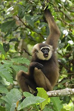 Agile Gibbon (Hylobates agilis) calling, Camp Leaky, Tanjung Puting National Park, Indonesia  -  Thomas Marent
