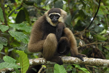 Agile Gibbon (Hylobates agilis), Camp Leaky, Tanjung Puting National Park, Indonesia  -  Thomas Marent