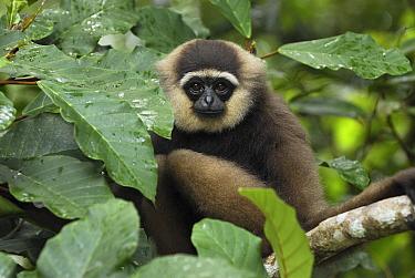 Agile Gibbon (Hylobates agilis) portrait, Camp Leaky, Tanjung Puting National Park, Indonesia  -  Thomas Marent