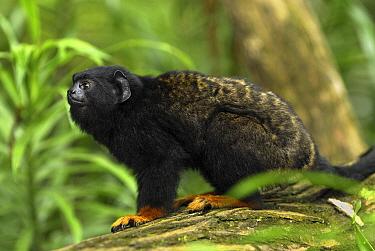 Midas Tamarin (Saguinus midas), Brazil  -  Thomas Marent
