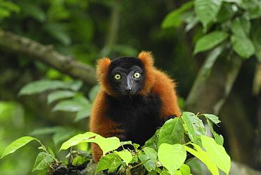 Red-ruffed Lemur (Varecia variegata ruber), Masoala National Park, Madagascar  -  Thomas Marent