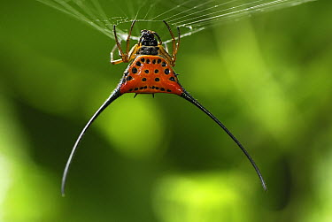 Curved Spiny Spider (Gasteracantha arcuata) on web, Danum Valley Conservation Area, Borneo, Malaysia  -  Thomas Marent