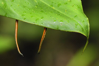 Tiger Leech (Haemadipsa picta) pair attached to underside of leaf, awaiting passing host, Danum Valley Conservation Area, Borneo, Malaysia  -  Thomas Marent