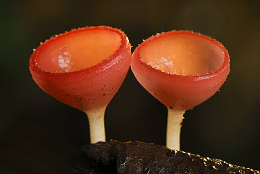 Cup Fungus (Cookeina tricholoma) pair, Danum Valley Conservation Area, Borneo, Malaysia  -  Thomas Marent