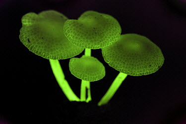 Fluorescent Fungus (Mycena illuminans) glowing at night, Danum Valley Conservation Area, Borneo, Malaysia  -  Thomas Marent