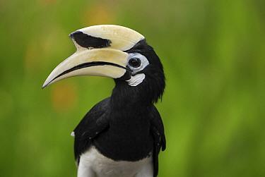 Oriental Pied-Hornbill (Anthracoceros albirostris), Sabah, Borneo, Malaysia  -  Thomas Marent