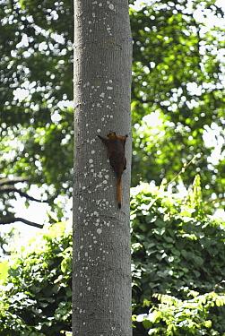 Red Giant Flying Squirrel (Petaurista petaurista) on tree trunk, Sabah, Borneo, Malaysia  -  Thomas Marent