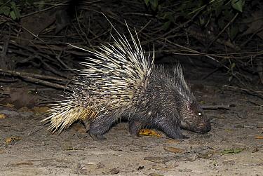 Malayan Porcupine (Hystrix brachyura) walking at night, Thailand  -  Thomas Marent