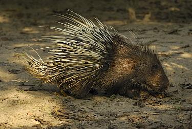 Malayan Porcupine (Hystrix brachyura), Thailand  -  Thomas Marent