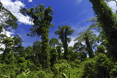 Tall trees covered with plants in lowland rainforest, Danum Valley Conservation Area, Borneo, Malaysia  -  Thomas Marent