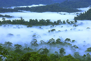 Canopy of lowland rainforest at dawn with fog, Danum Valley Conservation Area, Borneo, Malaysia  -  Thomas Marent