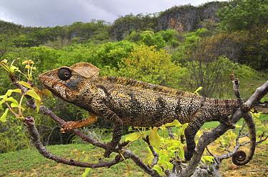 Oustalet's Chameleon (Furcifer oustaleti) male, Montagne des Francais Reserve, Antsiranana, northern Madagascar  -  Thomas Marent