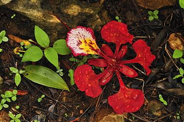 Royal Poinciana (Delonix regia) flower on forest floor, Montagne des Francais Reserve, Antsiranana, northern Madagascar  -  Thomas Marent
