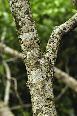 Leaf-tailed Gecko (Uroplatus sikorae) camouflaged on tree trunk, Montagne D'Ambre National Park, Madagascar  -  Thomas Marent
