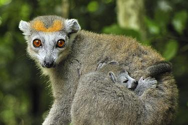 Crowned Lemur (Eulemur coronatus) female with sleeping baby, Ankarana Special Reserve, Madagascar  -  Thomas Marent
