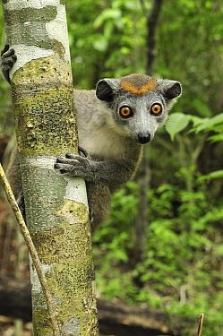 Crowned Lemur (Eulemur coronatus) female, Ankarana Special Reserve, Madagascar  -  Thomas Marent