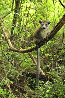 Crowned Lemur (Eulemur coronatus) female juvenile sitting on liana, Ankarana Special Reserve, Madagascar  -  Thomas Marent
