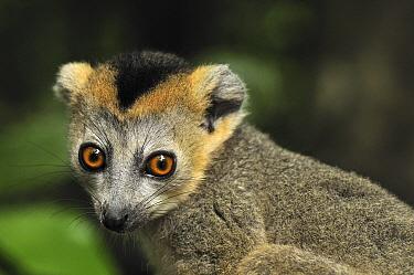 Crowned Lemur (Eulemur coronatus) male, Ankarana Special Reserve, Madagascar  -  Thomas Marent
